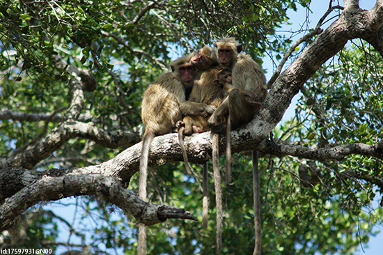 A family of toque monkeys in Yala National Park