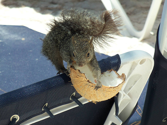 Squirrels are common on Riviera Maya beaches. ©Alexandra Gregg/Brad Cronin