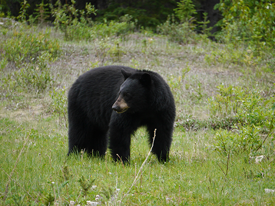 Black bear on the road to Maligne, Jasper (image: Alexandra Gregg)