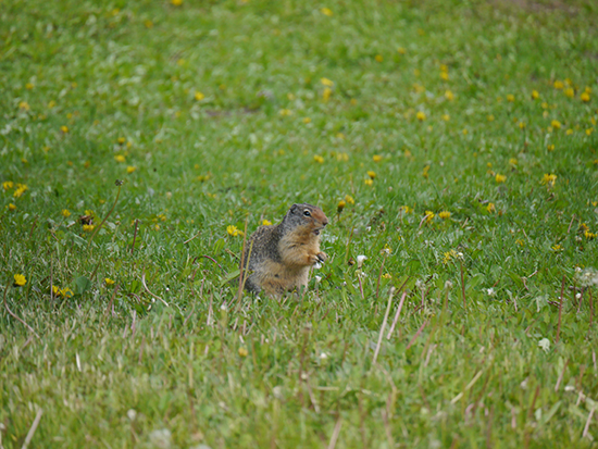 A marmot at Lake Louise (Image: Alexandra Gregg)