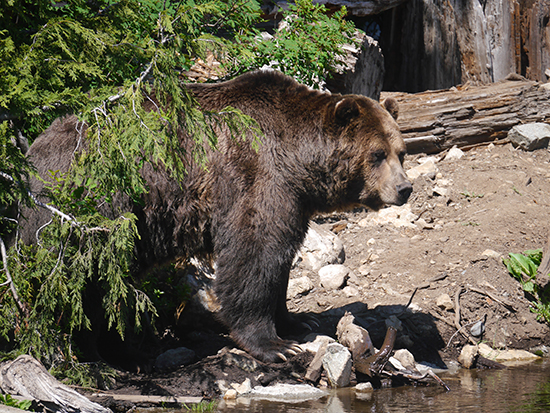One of the bears atop Grouse Mountain (Image: Alexandra Gregg)
