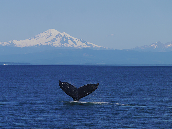 A humpback whale breaching with Mount Baker (Washington, US) behind (Image: Alexandra Gregg)