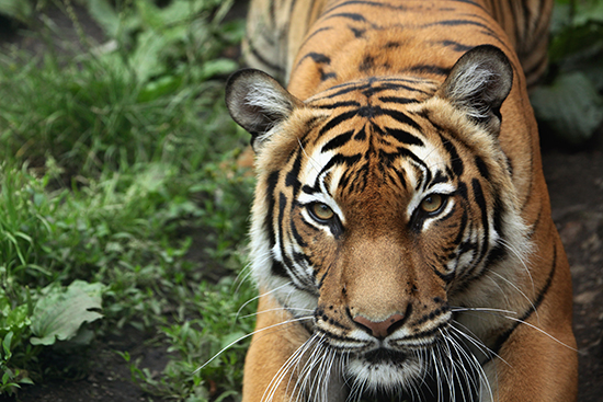 RS 2 Malayan tiger shutterstock_297211556