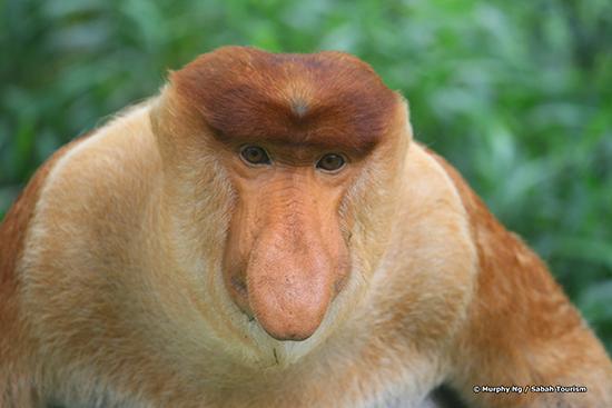 RS 3 MurphyNg_proboscis monkey