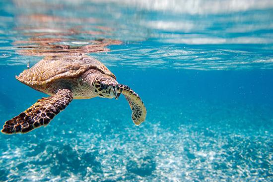 RS 10 Hawksbill sea turtle swimming in Indian ocean in Seychelles