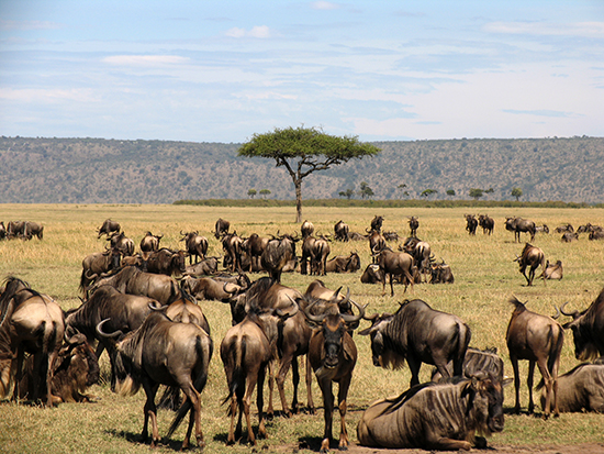 RS 7 Wildebeest Migration in the Masai Mara