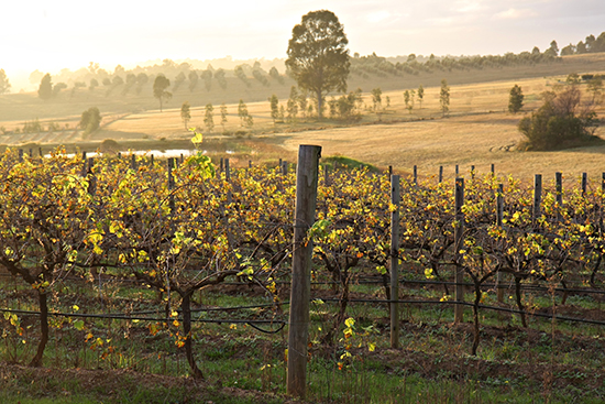 Mist hangs over the vines of the Hunter Valley
