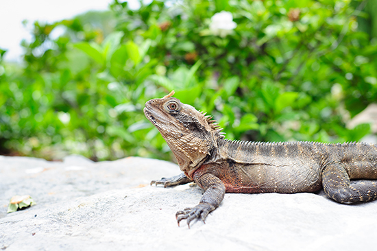 A water dragon, one of the reptiles you may spot in the Australian Reptile Park