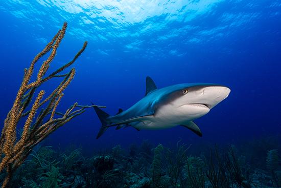 RS Caribbean Reef Shark shutterstock_229581451