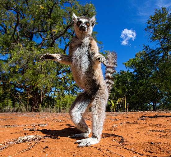 RS Dancing lemur in Madagascar - shutterstock_256089874