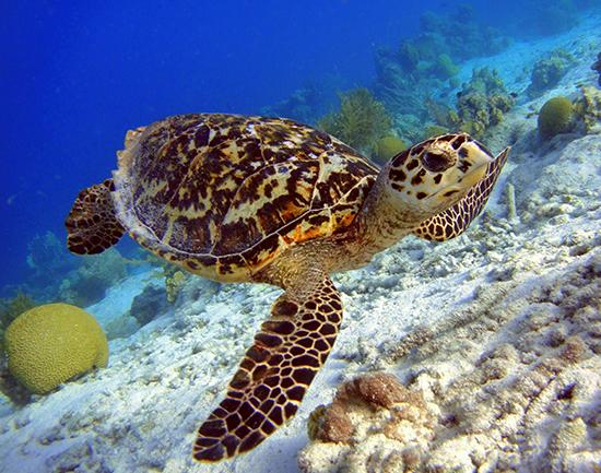 RS Hawksbill Turtle shutterstock_136459448