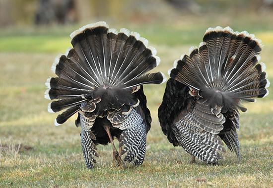 RS Turkeys in Washington - shutterstock_240697225