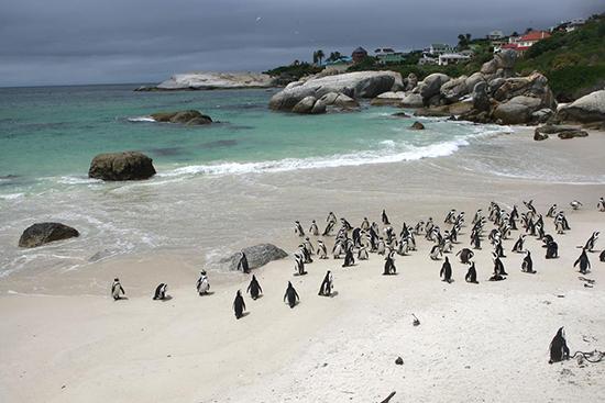 Penguins at Boulders Beach (Image: Cape Town Tourism)