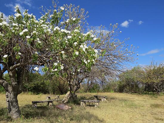 Casahuate trees (Image: Elizabeth James)