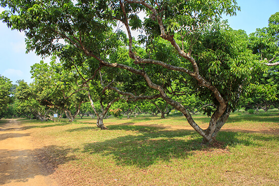RS Lychee orchard shutterstock_167861033