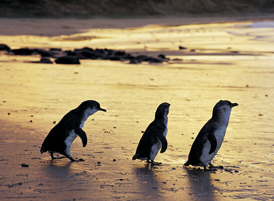 The penguins of Phillip Island