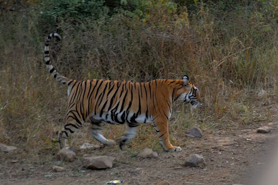 A tiger sighting in Ranthambore (Image: Lee Ballard)