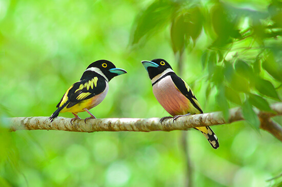 Two black-and-yellow broadbills