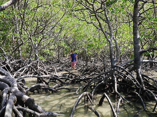 The mangroves at Cape Tribulation (Image: Alexandra Gregg)