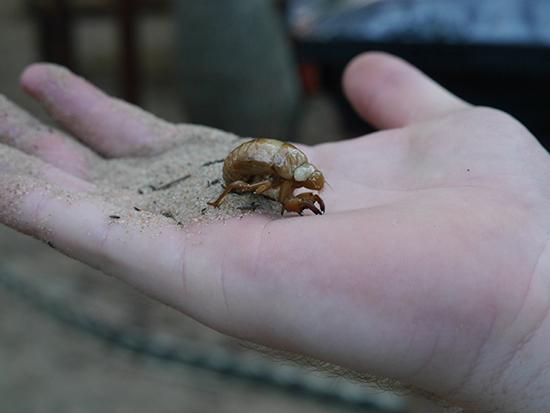RS Cicadas