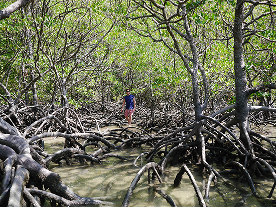 Mangroves at Cape Tribulation (Image: Alexandra Gregg)