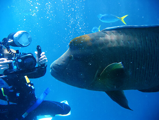 RS Maori wrasse - Barrier Reef Diving2