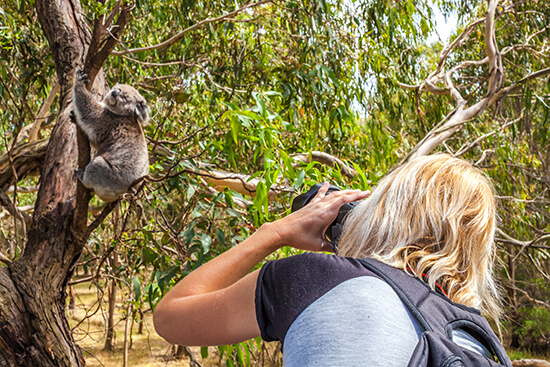 Photographing a koala in Australia