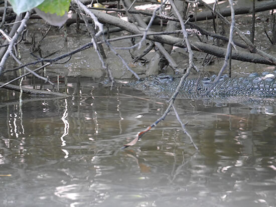 A saltwater crocodile in Daintree River  (Image: Alexandra Gregg)