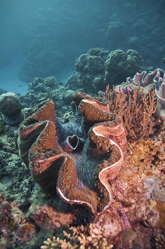 RS giant clam shutterstock_60248794
