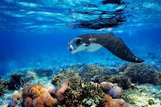 RS manta ray shutterstock_223243231