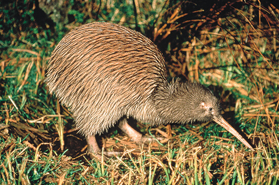 The rare kiwi bird (Image: Tourism New Zealand)