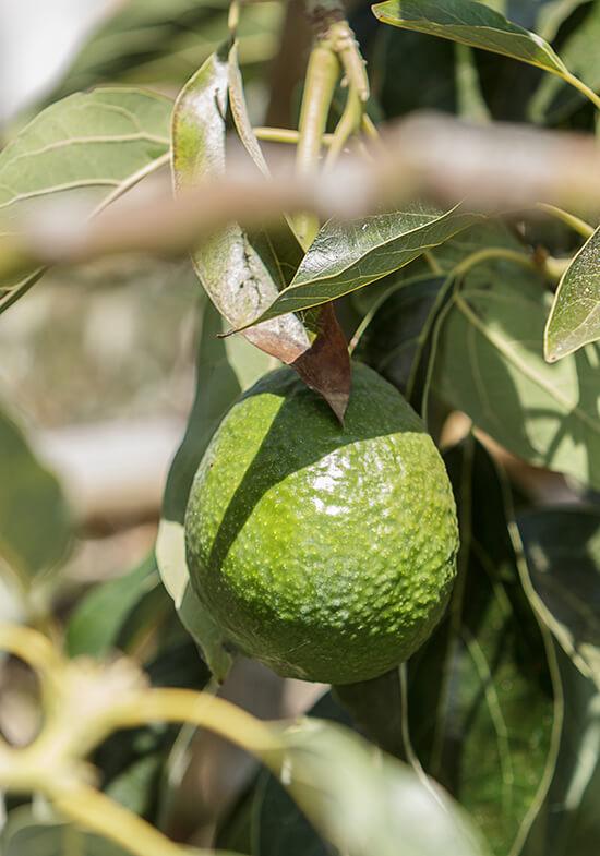 RS avocado plant California - shutterstock_313658990