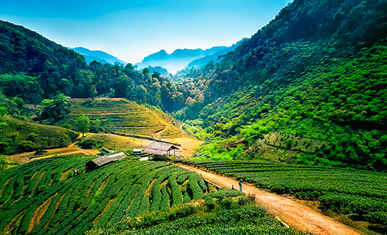 Tea plantations in Chiang Mai