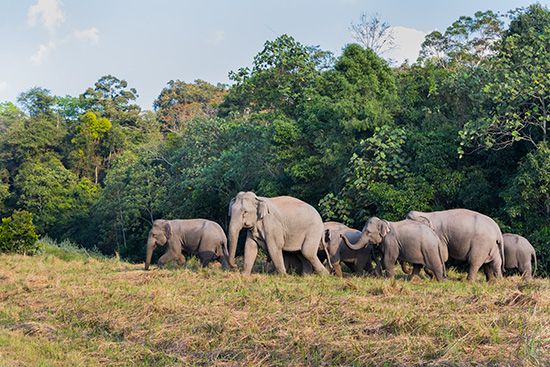 Elephants walking in Khao Yai National Park