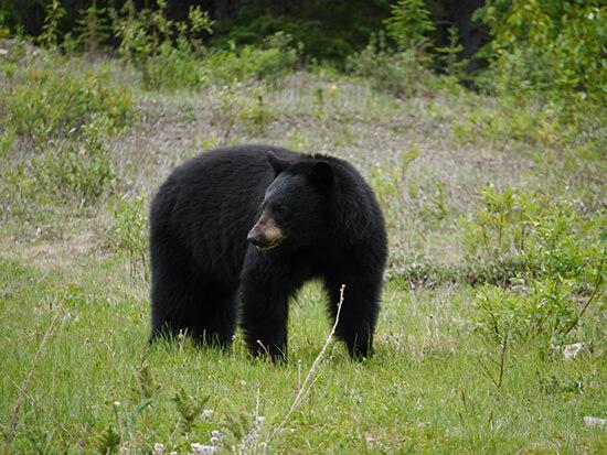 A wild black bear near Maligne (Image: Alexandra Gregg)