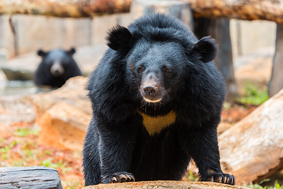 Asiatic black (moon) bear