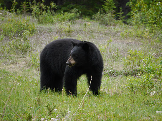 One of the black bears we spotted near Maligne