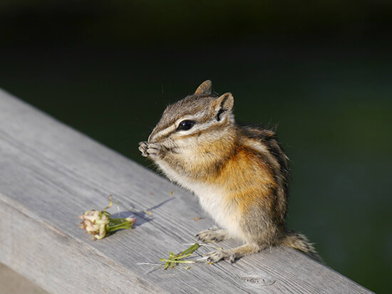 A chipmunk in the Valley of the Five Lakes