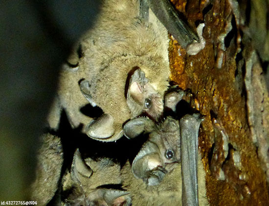 Cuban funnel-eared bats