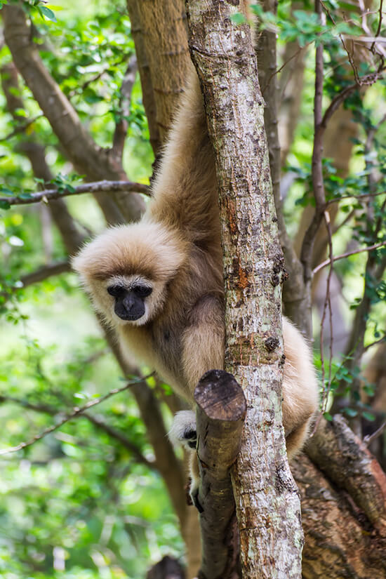 Hainan black-crested gibbon