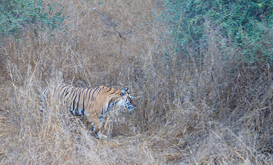Tiger in the long grass, India (Image: Lauren Burvill)