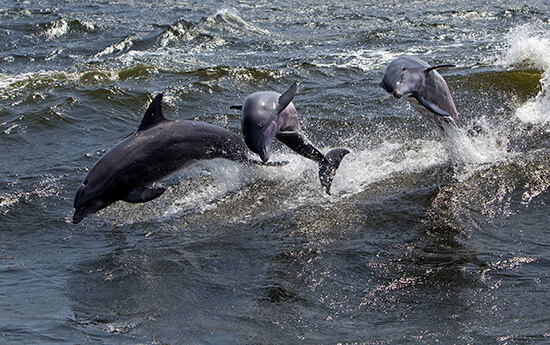 Wild bottlenose dolphins in Florida