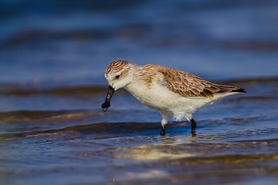 Spoon-billed sandpiper in Thailand
