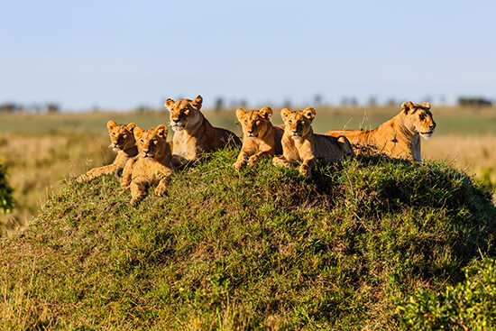 Lioness and lion cubs in the Masai Mara, Kenya