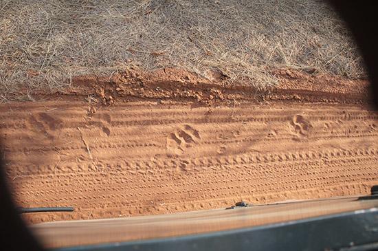 Tiger footprints
