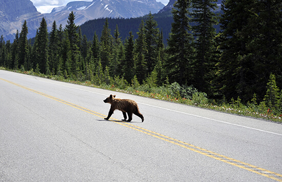 A grizzly cub on the road in Canada