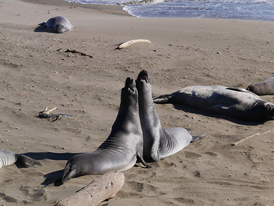The elephant seals of San Simeon (image: Alexandra Gregg)