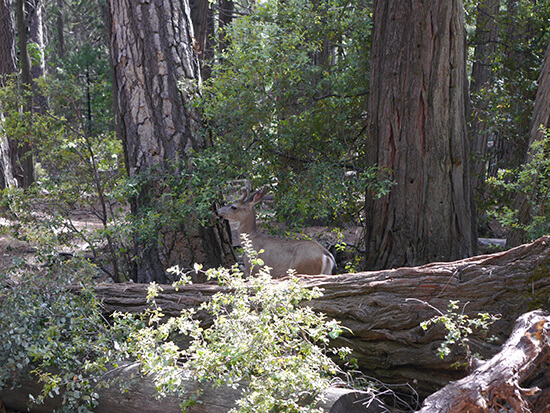 A deer near Lower Yosemite Falls (Image: Alexandra Gregg)