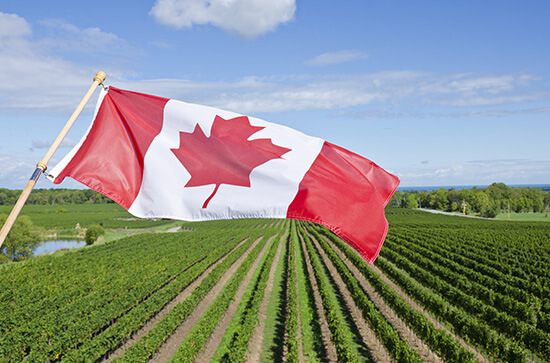 The Canadian flag flies proudly over an Ontarian vineyard