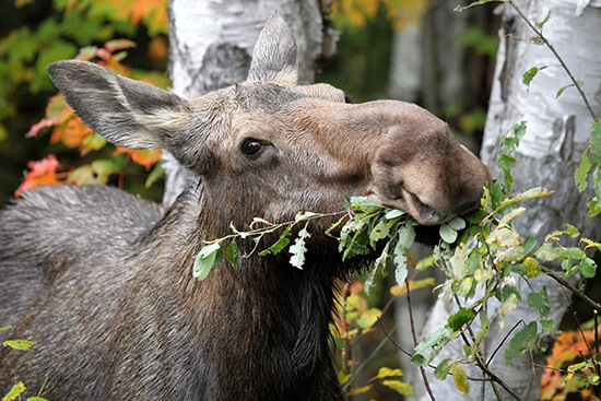 A hungry moose in Algonquin Provincial Park